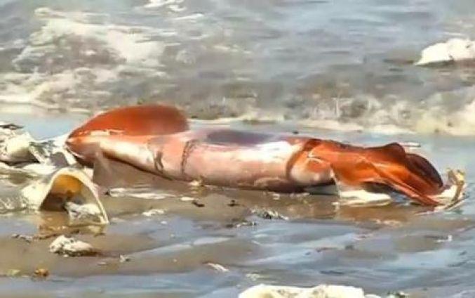Miles de calamares gigantes mueren en costa chilena